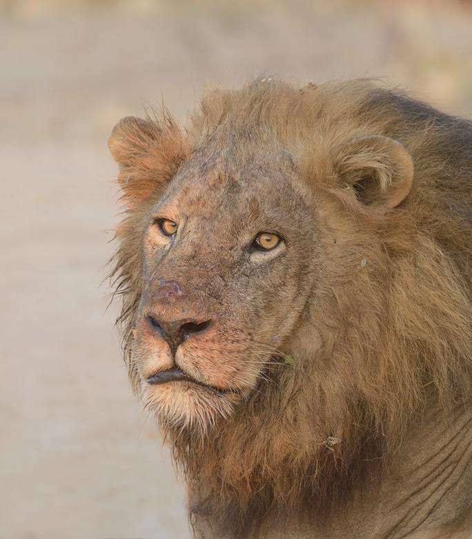 Lion - Het is gaaf om in het wild een mannetjes Leeuw te fotograferen, zeker als het ook nog met een kopportret lukt.<br /> <br /> hoi henk<br /> h