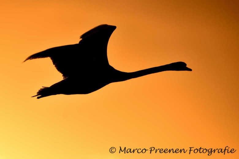 zwaan in vlucht - Zwaan in het ochtend rood.<br /> Foto is genomen in Eemland Noordpolder