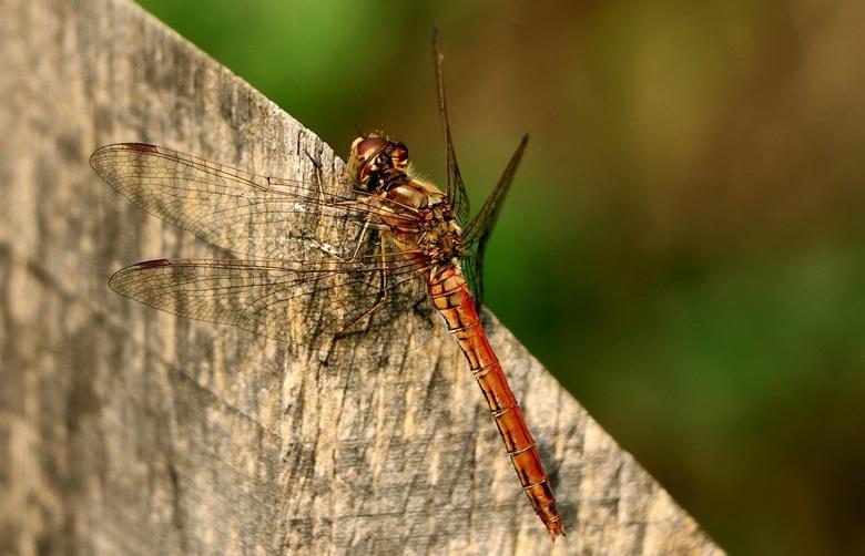 libelle in rust -