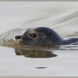 Katwijkse Zeehond 3