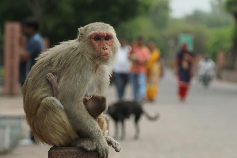 Opgepast - Ander land, andere dieren. Geen duiven op de dam maar agressieve apen op het hek. U bent gewaarschuwd.