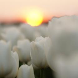 Tulps sunset