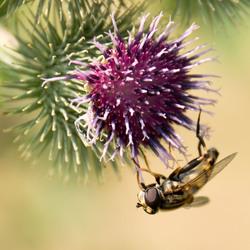 Distel en insect