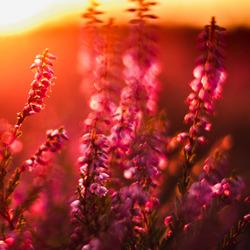 Gasterse Duinen in bloei