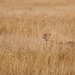 Zoek de cheeta...