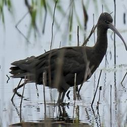 zwarte ibis Dannemeer 28-6-16.