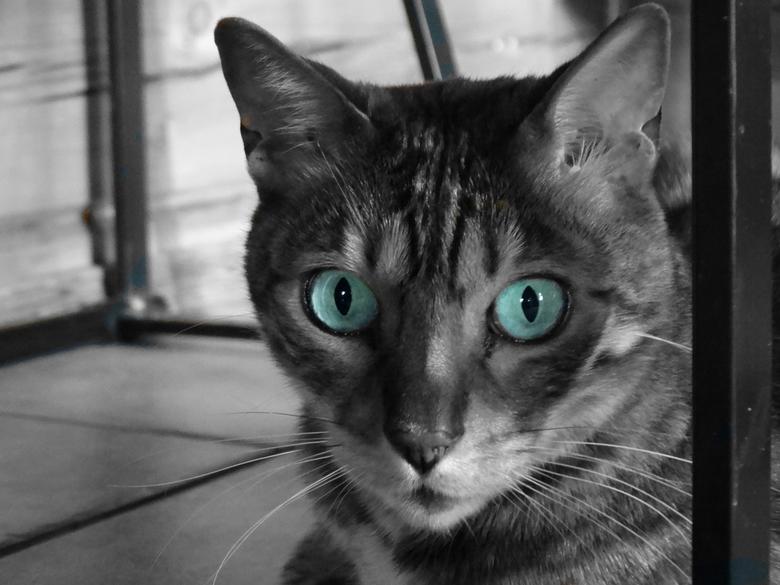 kat met alleen kleur in de ogen  - hier is alles zwart wit behalve de ogen