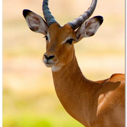 Impala impression