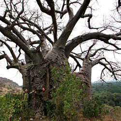 De dikste Baobabboom in Tanzania