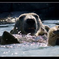 ook ijsberen spelen