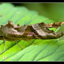 Agaat vlinder