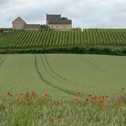 landschap ,wijngaard, klaprozen
