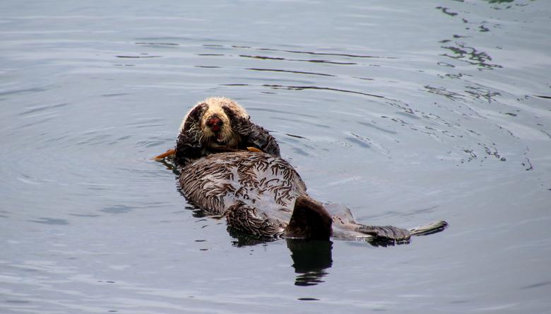 Kiekeboe - Langs de west kust van Amerika tref je op verschillende plaatsen schattige dobberende zee-otters aan.<br /> Zo zagen wij ze bij Morro Bay,