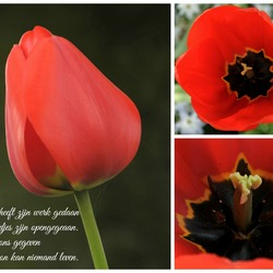 Collage tulp