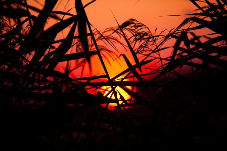 De zon tussen het riet - Ook deze foto heb ik gister in het Balijbos nabij Zoetermeer en Pijnacker gemaakt. De zon ging langzaam onder tussen het riet
