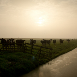 Morning-Cows