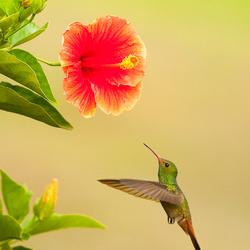 hummingbird hunting