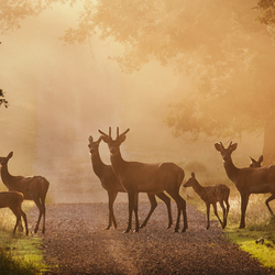 Deer on Path