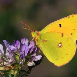 Luzern vlinder