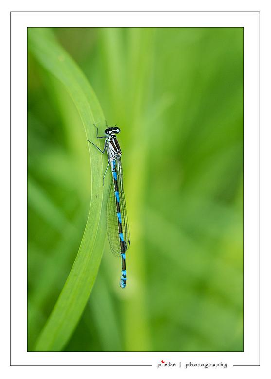 """Blauwe juffer - Hierbij een macro van een blauwe juffer vlakbij onze tuin.<br /> <br /> Groet Piebe<br /> <a href=""""http://www.piebevandenberg.nl"""">h"""