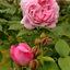 rozen.