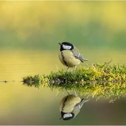 Reflectie van een Koolmees