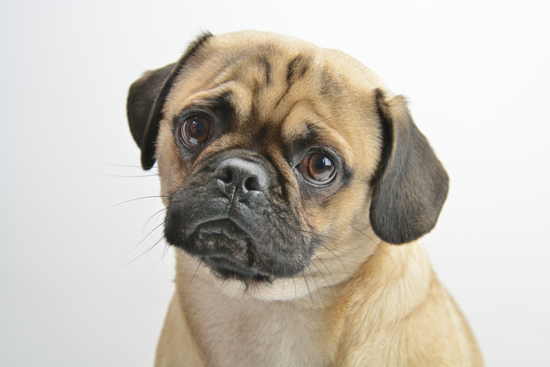 Duitse Retro Mops - Als je een mopshond goed bekijkt dan zie je een hond met een zeer opvallend uiterlijk en een enthousiaste uitdrukking, je ziet een