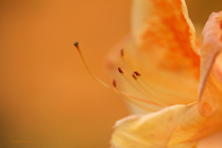 Fijntjes... - Nog een close-up van een rhododendron, hier heb ik gespeeld om een egale achtergrond in de zelfde kleur als de rhododendron te krijgen.
