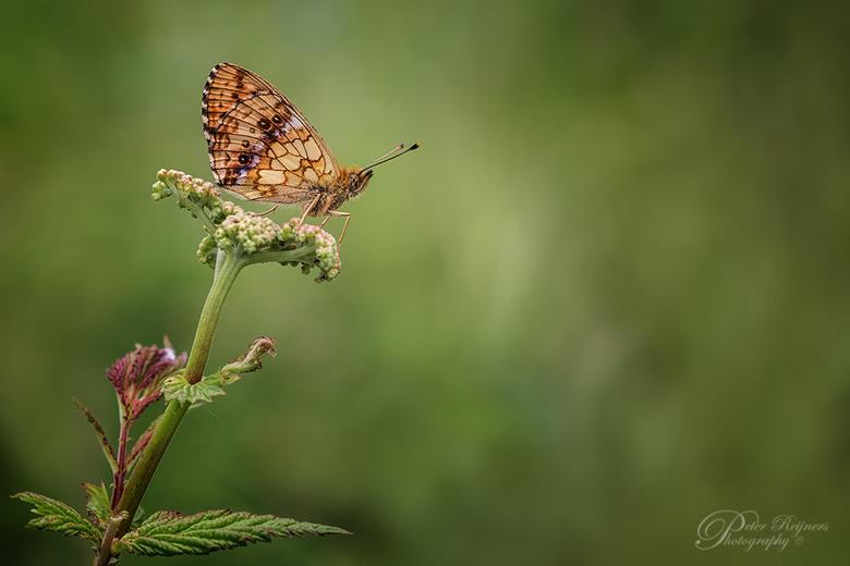 Purperstreepje - Een purperstreepparelmoervlindertje uit de oude doos.<br /> <br /> Gr<br /> <br /> Peter