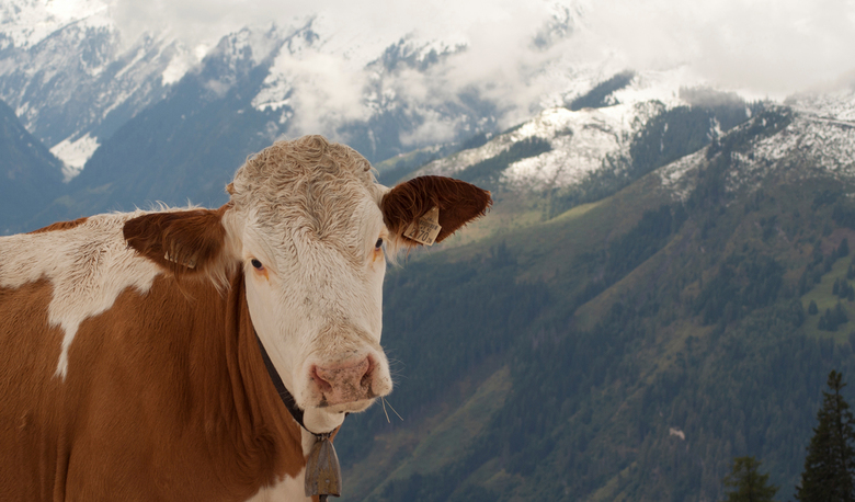 Koe tegen de bergen in Oostenrijk - Wel jammer dat ik haar koebel niet geheel in beeld heb gebracht maar wil 'm toch plaatsen