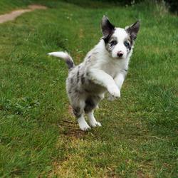 Springende pup
