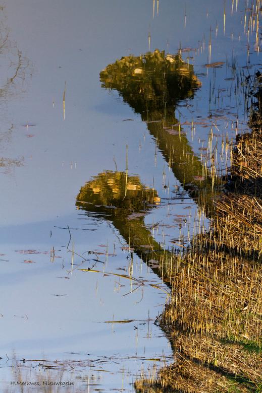 spiegeling - fraaie spiegeling van de knotwilgen in het water. Het doorkomende riet geeft een apart effect in deze weerspiegeling