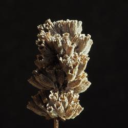 Lavendel Lavandula stoechas