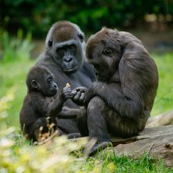 Teder Gorilla Moment