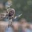 Spinnende Kruisspin