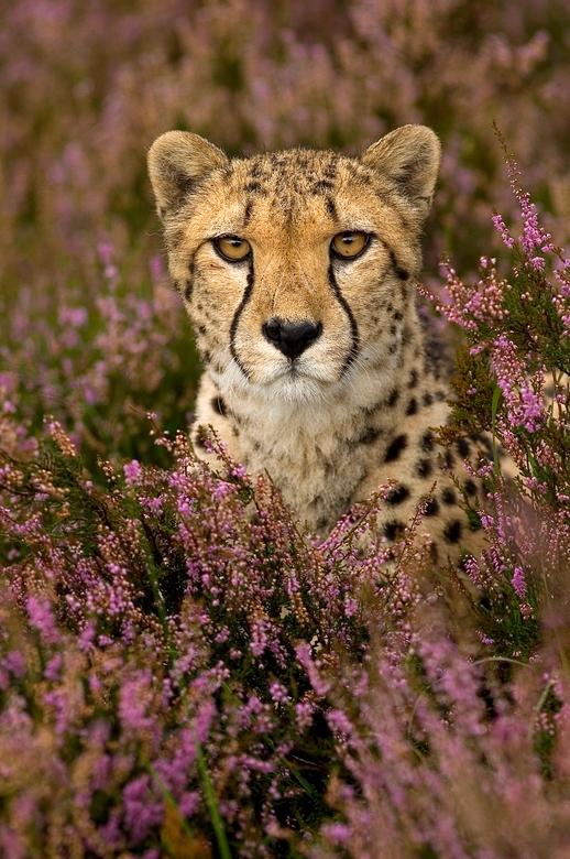 Flowergirl - Cheetah tussen de hei