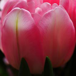 Tulpenfeest
