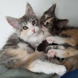 Kissing girls kitten