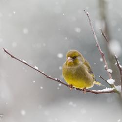 groenling in de sneeuw