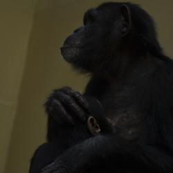 Dorst, chimpansee