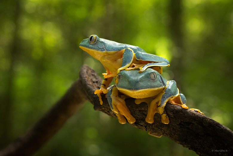 Wake Up - Cruziohyla calcarifer, Splendid Treefrog<br />