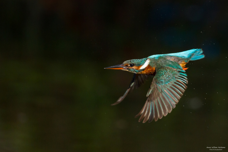 IJsvogel - Actiefoto van een IJsvogel (vrouw) in de vlucht.
