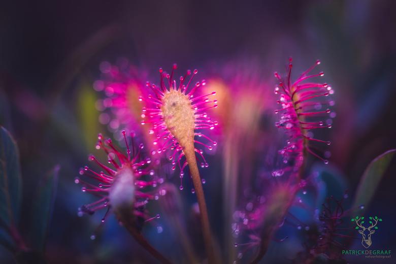 Alice in wonderplant - Een alice in wonderland achtige sfeer laat deze zonnedauw doen als of het een alien plant is