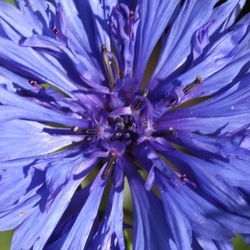 korenbloemen blauw
