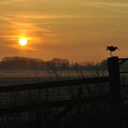 Grutto's bij zonsopkomst (aanklikken)