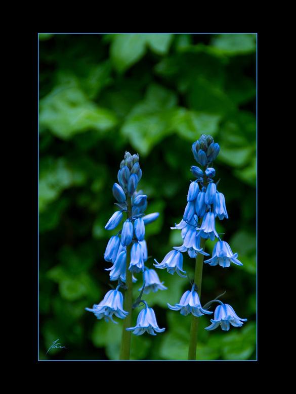 Jan's Garden IV - De Scilla of sterhyacint is een bolgewas wat laat bloeit.Dus na de Tulpen,Narcissen en de vele andere bolgewassen kunnen we blijven