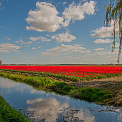 Tulpenveld in de Polder