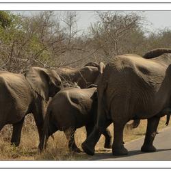 Kudde olifanten, Krugerpark