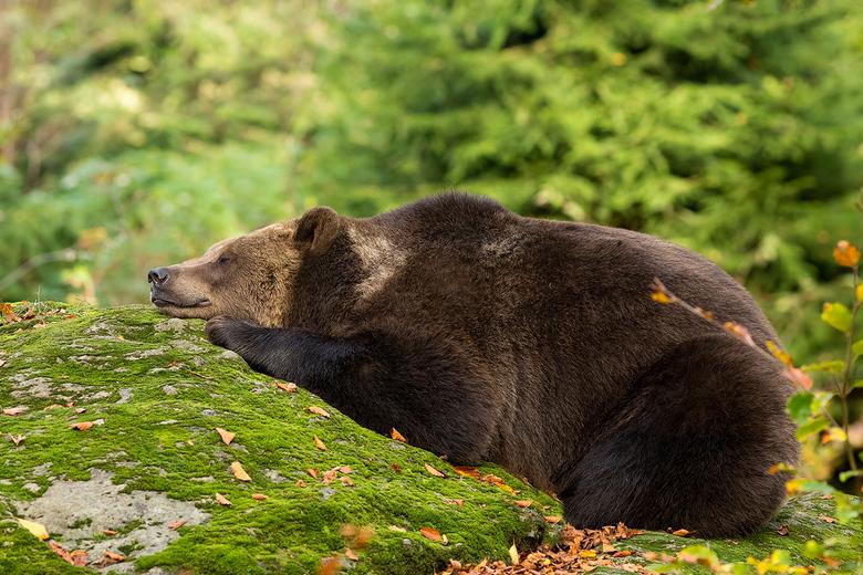 """Taking a nap..... - Deze bruine beer gefotografeerd in het Bayerischer Wald genoot even van het middag zonnetje <img  src=""""/images/smileys/wilt.png""""/>"""