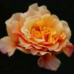 Roos Caramella